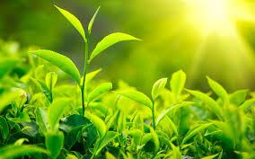 برداشت برگ سبز چای آغاز شد/اهمیت ویژه چای در اقتصاد کشور