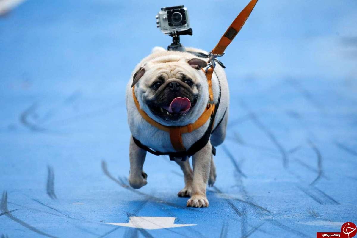 برگزاری ماراتن سگها در بانکوک+ تصاویر