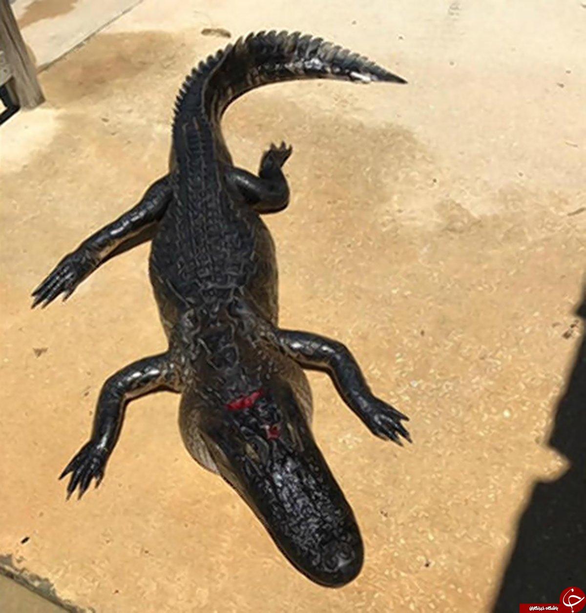 فرار معجزه آسای دختر 10 ساله از تمساح 3 متری   تصاویر