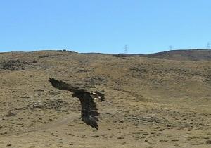رهاسازی 4 بهله پرنده شکاری در استان اردبیل
