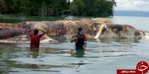 کشف لاشه یک موجود اسرارآمیز و ناشناخته در سواحل اندونزی  تصاویر