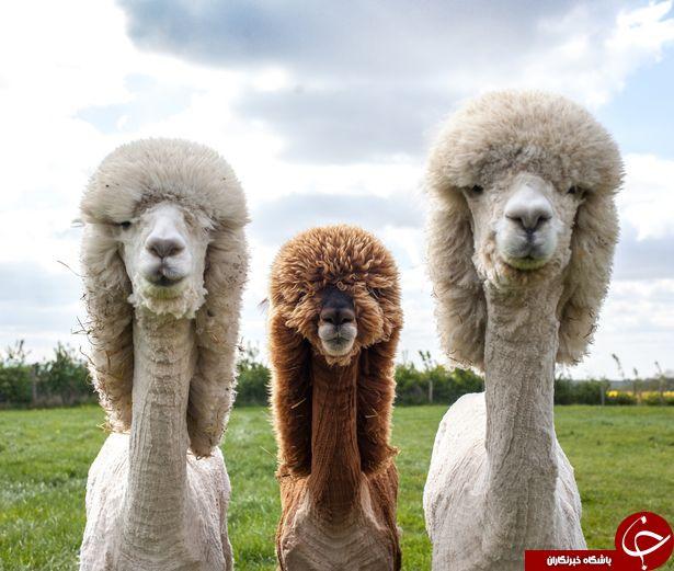 آرایش عجیب شترها در جشنواره «گلاسترشر» انگلیس+تصاویر