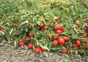 برداشت  بیش از 2 هزارتن گوجه فرنگی در سیریک