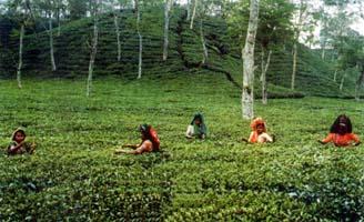 افزایش ۱۰ درصدی تولید چای/ پرداخت مطالبات چایکاران