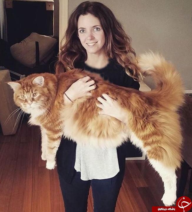 بزرگترین گربه جهان + تصاویر