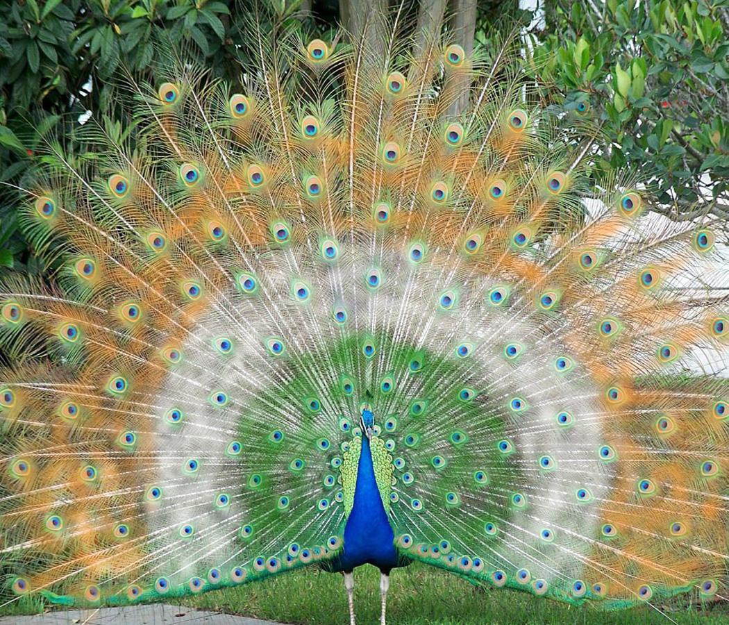 تصویر دیده نشده و شگفت انگیز از طاووس