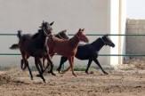 باشگاه خبرنگاران - افتتاح مجهزترین مجموعه پرورش اسب در دورود