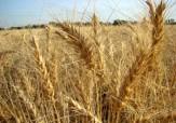 باشگاه خبرنگاران -پیش بینی خرید بیش از 50 هزار تن گندم از کشاورزان
