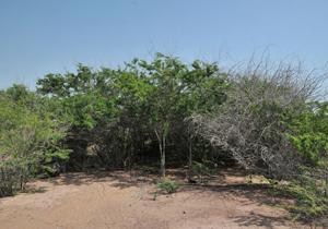 کهور آمریکایی خطرناک ترین گیاه مهاجم/ کاشت کهور رویشگاه گیاهان بومی خوزستان را تهدید میکند