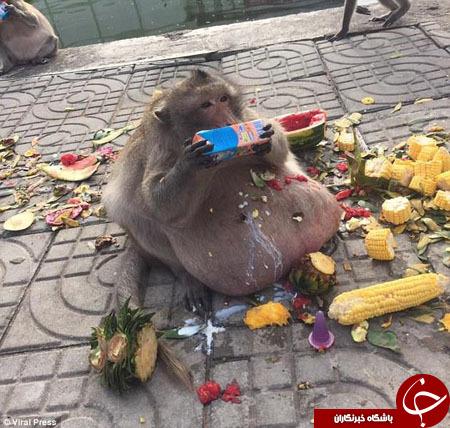انتقال چاقترین میمون تایلند به کمپ لاغری!+ تصاویر