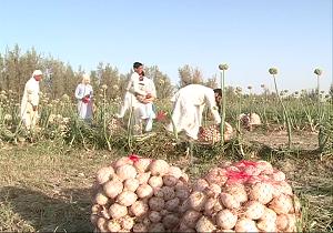 آغاز برداشت پیاز در شمال سیستان و بلوچستان