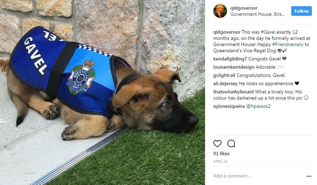 امضای قرارداد همکاری یک سگ با فرمانداری کوئینزلند +تصاویر///تبانی سگ پلیس با دزدها منجربه اخراج آن شد+تصاویر