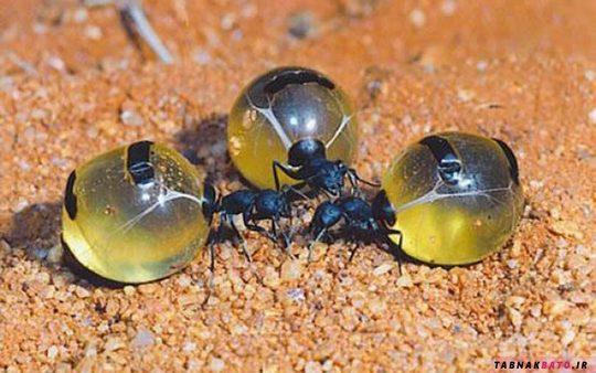 مورچه های شگفت انگیزی که عسل تولید می کنند! +تصاویر