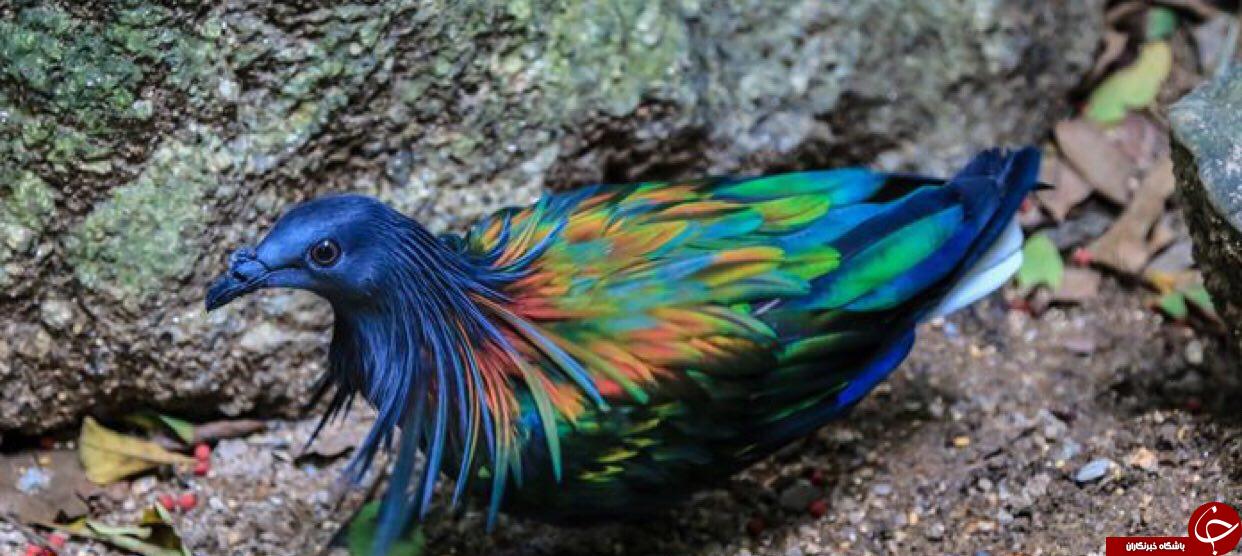 زیباترین کبوتر جهان +تصاویر