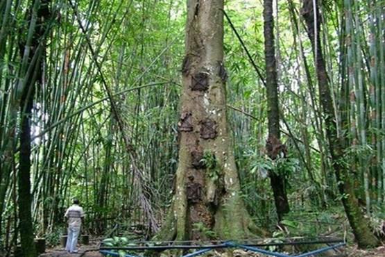 دفن نوزادان در تنه درخت! + عکس