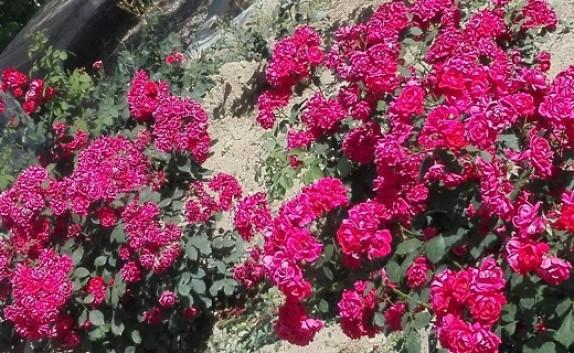 باشگاه خبرنگاران -جلوه ای زیبا از گل های رز در قاب تصویر
