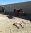 باشگاه خبرنگاران - مشاهده یک کره اسب به عارضه هایپر فلکشن مادرزادی مفاصل تارس