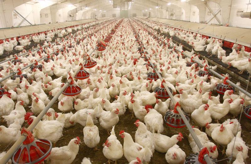 دلایل نابه سامانی قیمت مرغ در بازار چیست؟