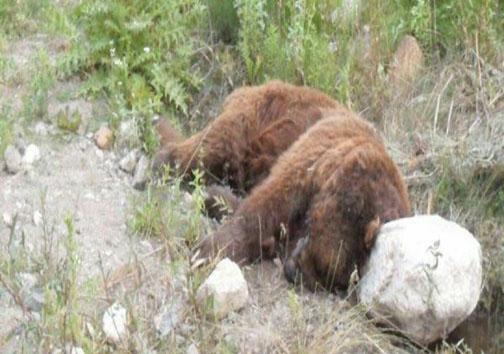 کشف لاشه یک قلاده خرس قهوه ای در آمل