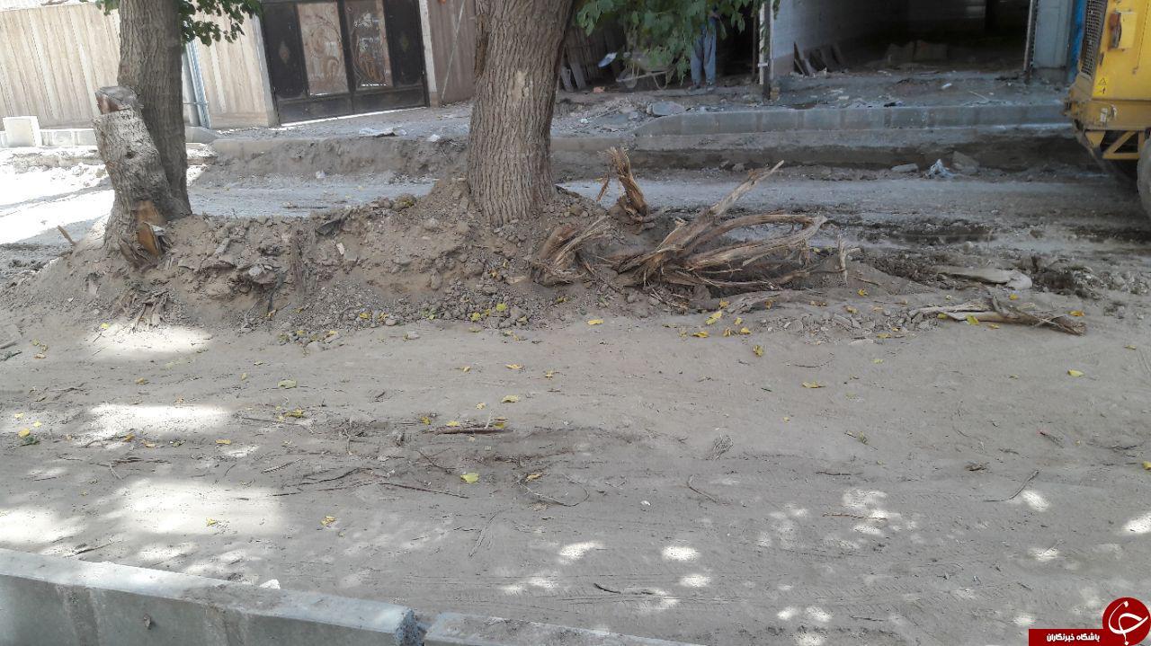 قلع و قمع درختان کهنسال + تصاویر