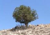 باشگاه خبرنگاران -اورس،یکی از با ارزشترین درختان سروکوهی