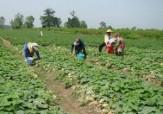 باشگاه خبرنگاران -تصاویری از مزرعه خیار در روستای «ملابداغ»
