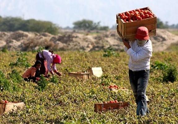 باشگاه خبرنگاران -73 هزار تن گوجه فرنگی از مزارع پارس آباد برداشت می شود