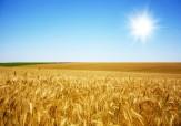 باشگاه خبرنگاران -کاهش 15 درصدی سطح زراعت گندم در شهرستان بیله سوار