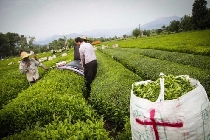 برداشت چین تابستانه برگ سبز چای آغاز شد