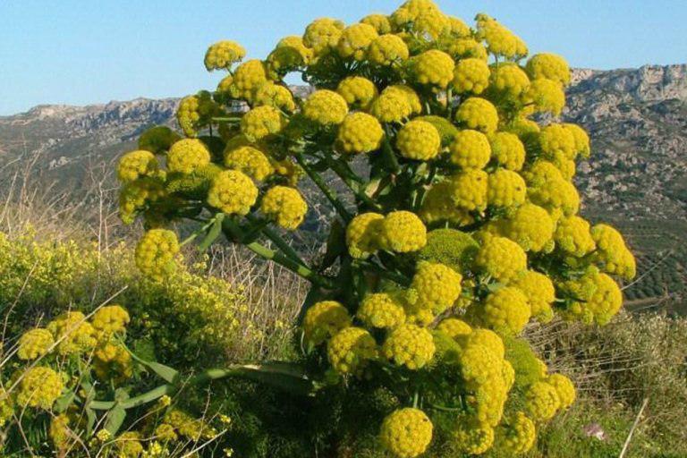 گیاهان دارویی نسخه شفابخش بیکاری در کهگیلویه وبویراحمد