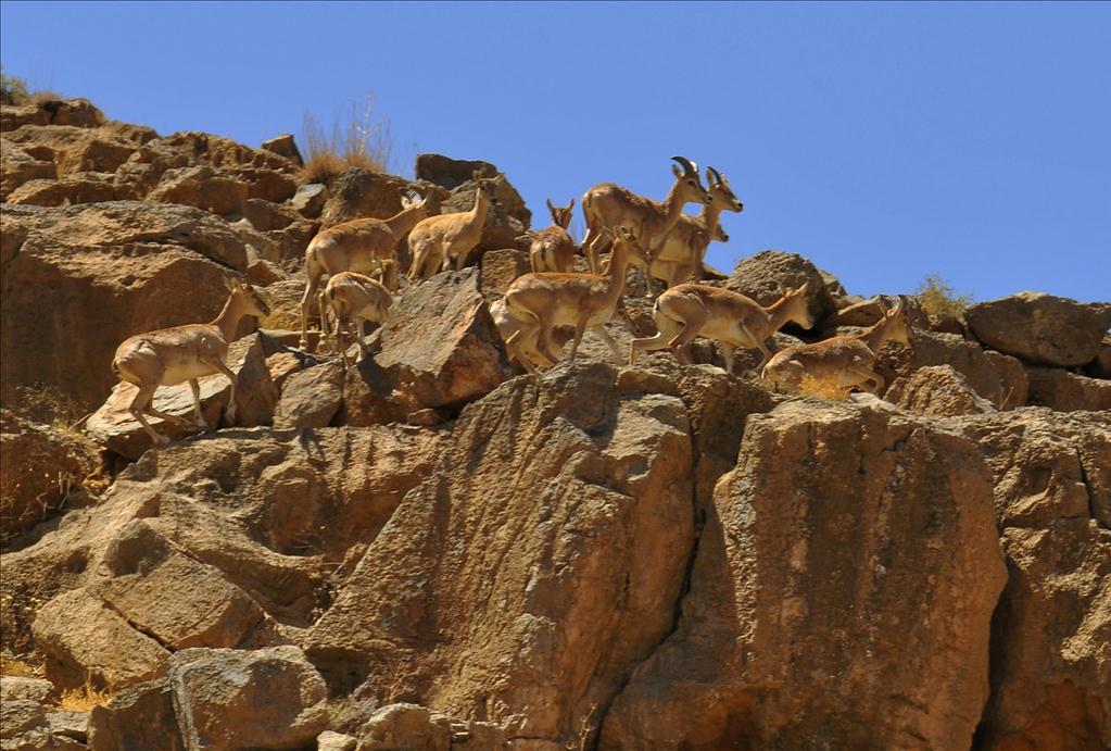 تمدید منطقه شکار ممنوع کوه مند استان بوشهر به مدت پنج سال