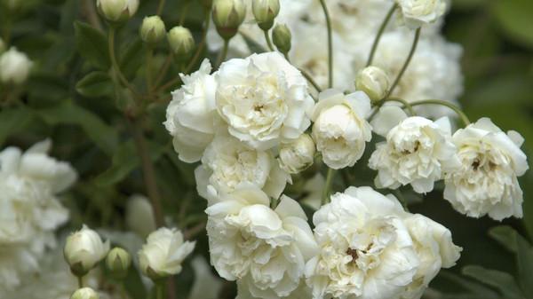 رز بانوی سفید بانکزیا بزرگترین بوته طبیعی گل جهان+تصاویر