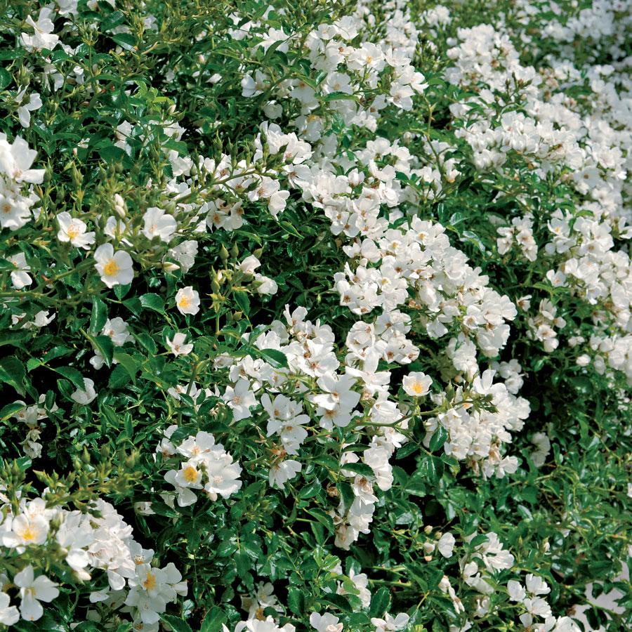 رز بانوی سفید بانکزیا؛ بزرگترین بوته طبیعی گل جهان+تصاویر