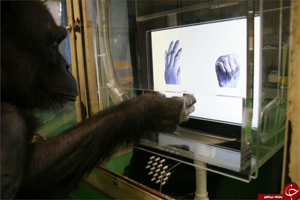 سطح هوشی شامپانزهها در حد کودک چهار ساله است