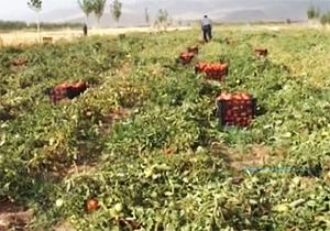 کمک سازمان جهاد کشاورزی به کشاورزان برای رونق تولید محصولات + فیلم