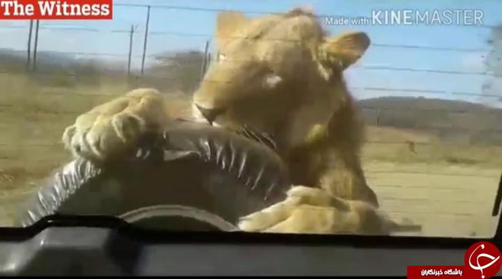 لحظه وحشتناک حمله شیر به خودروی گردشگران در پارک + تصاویر