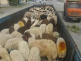 کشف 180 راس گوسفند زنده قاچاق