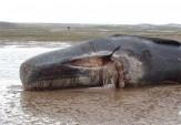 باشگاه خبرنگاران -کشف لاشه نهنگ 12 متری در ساحل هرمزگان/ انتقال اسکلت نهنگ براید به موزه
