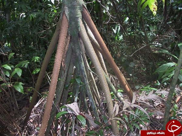 درخت نخلی عجیب که در نوع خود بینظیر است + تصاویر