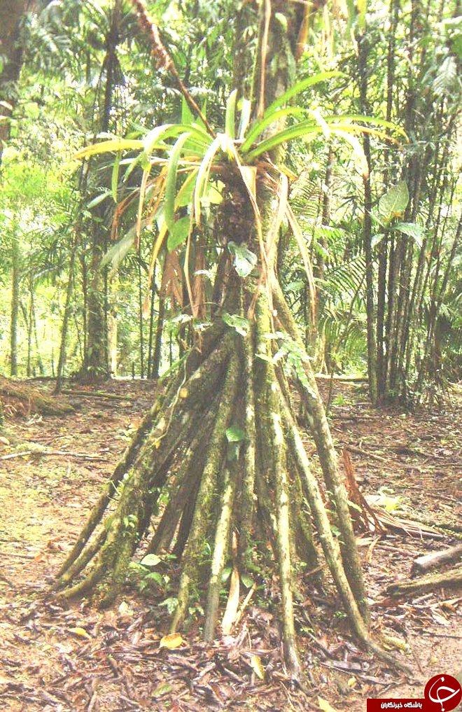 درخت نخل عجیب که در نوع خود بینظیر است + تصاویر