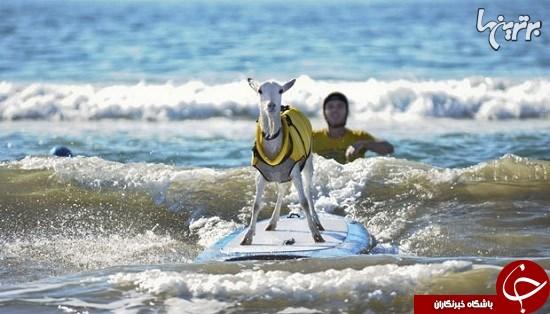 بزی که موج سواری میکند!