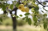 باشگاه خبرنگاران - درختی عجیب با میوه الکل دار در آفریقا+تصاویر
