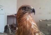 باشگاه خبرنگاران - نجات یک بهله عقاب توسط دوست دار حیات وحش در لرستان