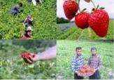 باشگاه خبرنگاران - کسب رتبه نخست کردستان در تولید توت فرنگی کشور