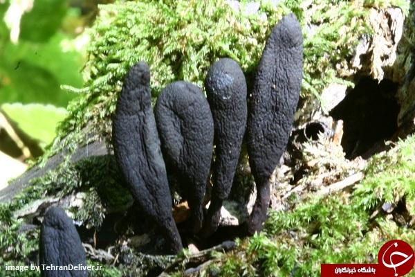 قارچی که به انگشت مرد مرده معروف است! +تصاویر