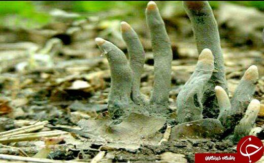 معرفی قارچی که به انگشت مرد مرده معروف است +تصاویر
