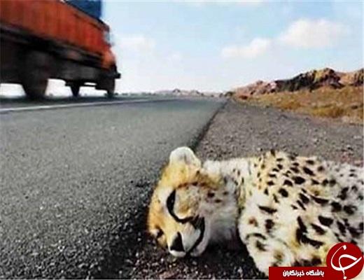 استان یزد یکی از مهمترین زیستگاه های یوز پلنگ آسیایی است