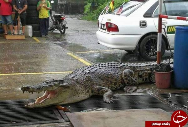 مشاهده تمساح 5 متری با وزن یک تن در خیابان +عکس