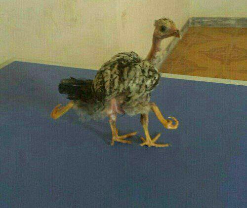 مشاهده مرغی چهار پا در رودبار جنوب