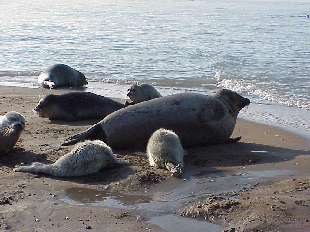 گزارش ///// حیات وحش//////تنها پستاندار دریای خزر در حال انقراض/ تنها 100 راس از فک خزری باقی مانده است